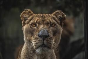 Conflict Lion1